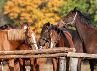 Uwagi natemat stanu polskiej hodowli koni pełnej krwi angielskiej